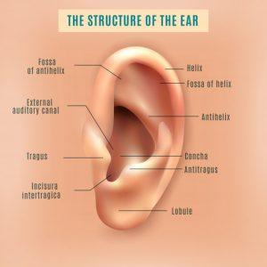 אוזן אנטומיה